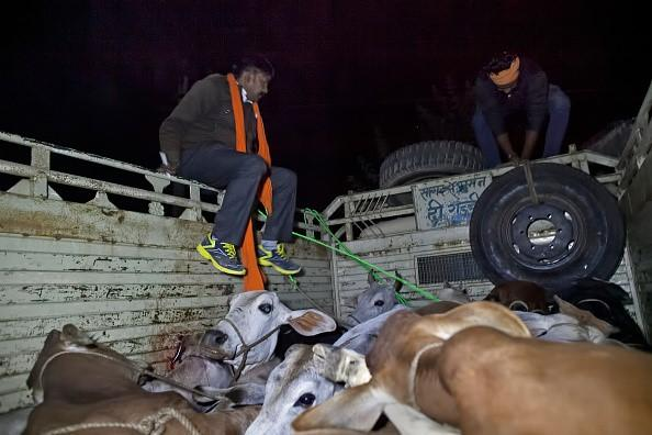 Members of a Cow Protection group trying to take cows from the back of a truck 08 Nov 2015, Ramgarh, Rajasthan, India Pic GettyPic Getty Images
