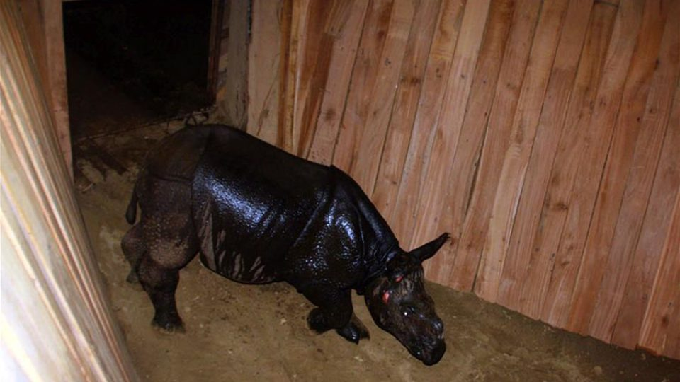 Photo taken on April 29, 2018 One-horned baby rhino gifted to China roams around its BOMA, a special shelter inside the Park premises at Chitwan National Park, Nepal